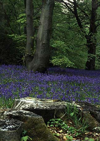 Photowrap Bluebell Woods Greeting Card