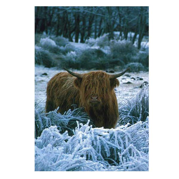 Photowrap Highland Cow Greeting Card