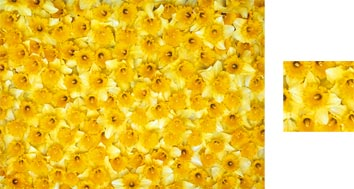 Daffodils Wrapping Paper - Photowrap